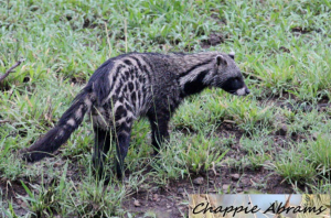 Civet cat
