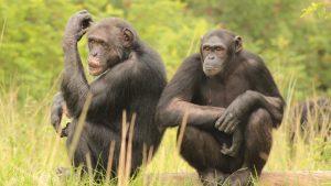 Jane Goodall Chimpanzee Eden Sanctuary